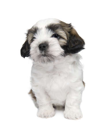 shih: Shih Tzu puppy (7 weeks) in front of a white background Stock Photo