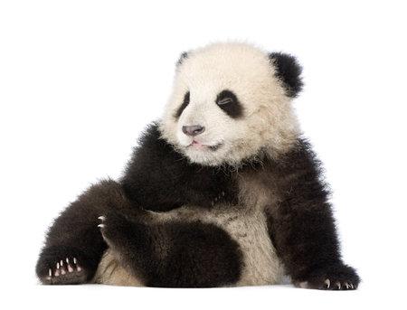 ourson: Giant Panda (6 mois) - Ailuropoda melanoleuca devant un fond blanc
