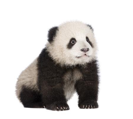 ourson: Panda g�ant (6 mois) - Ailuropoda melanoleuca de fond blanc