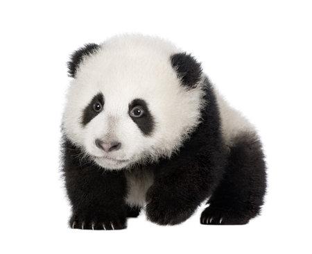cachorro: Panda gigante (4 meses) - Ailuropoda melanoleuca delante de un fondo blanco