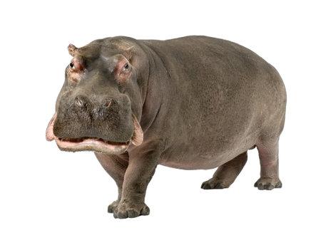 hippopotamus: Hippopotamus - Hippopotamus amphibius (30 a�os) delante de un fondo blanco