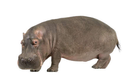 Hippopotamus - Hippopotamus amphibius (30 ans) devant un fond blanc