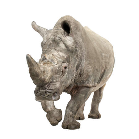 White Rhinoceros or Square-lipped rhinoceros - Ceratotherium simum ( +- 10 years) in front of a white background Stock Photo