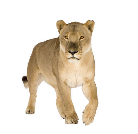 female lion: Lioness (8 years) - Panthera leo in front of a white background Stock Photo