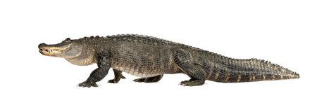 cocodrilo: American Alligator (30 a�os) - Alligator mississippiensis delante de un fondo blanco Foto de archivo