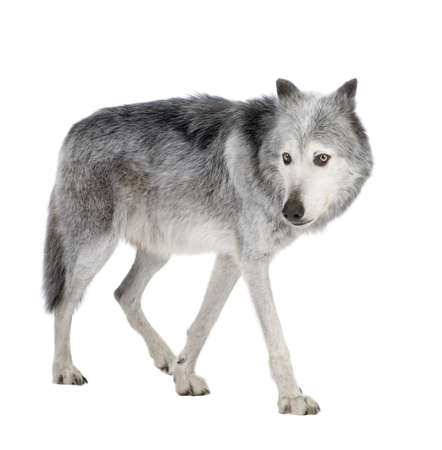 the gray wolf: Mackenzie Valley Wolf (8 years) - Canis lupus occidentalis  in front of a white background Stock Photo