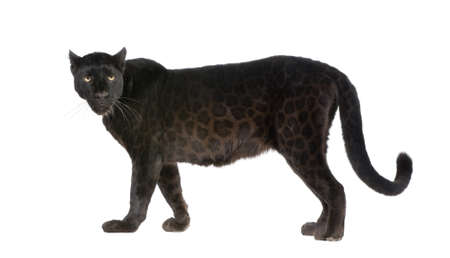 panthera: Black Leopard (6 years) in front of a white background