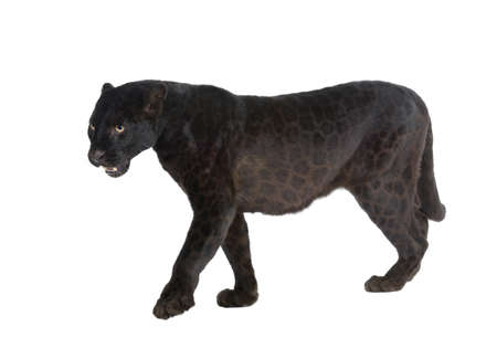 black panther: Black Leopard (6 years) in front of a white background