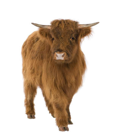 hoofed: young Highland Cow in front of a white background
