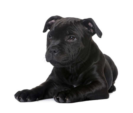staffordshire: puppy Staffordshire Bull Terrier (2 months) in front of a white background