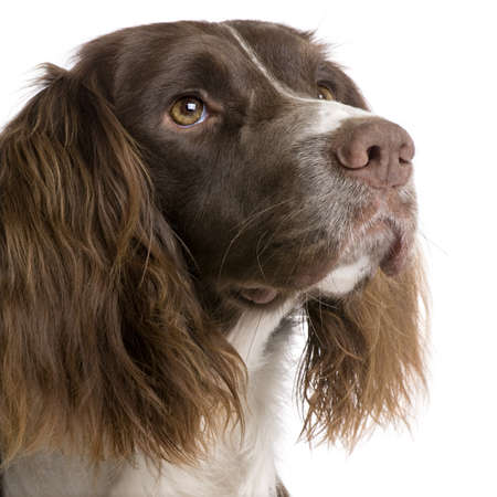 springer: English Springer Spaniel (2 years) in front of a white background Stock Photo