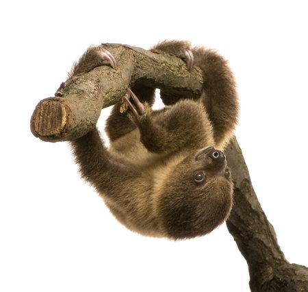 faultier: Zwei Baby-Faultier toed (4 Monate) - Choloepus didactylus vor einem wei�en Hintergrund