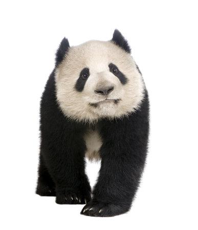 giant panda: Giant Panda  (18 months)  - Ailuropoda melanoleuca in front of a white background