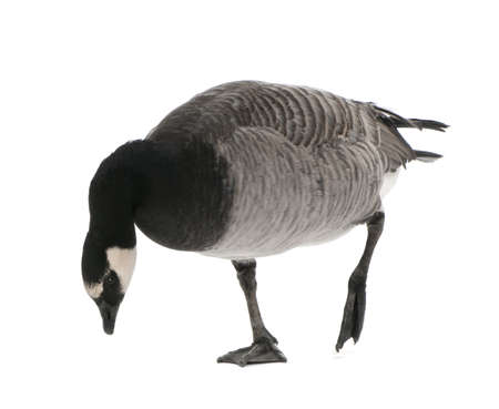 Mixed-Breed goose between Canada Goose - (Branta canadensis) and a Barnacle Goose (Branta leucopsis)  (+- 18 months) in front of a white background photo
