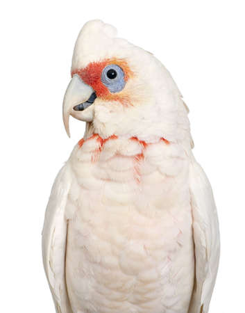 Long-billed Corella - Cacatua tenuirostris in front of a white background. He look Similar in appearance to the Little Corella and Sulphur-crested Cockatoo photo