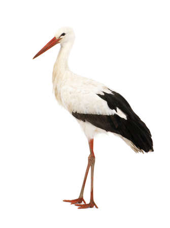 black stork: White Stork - Ciconia ciconia (18 months) in front of a white background