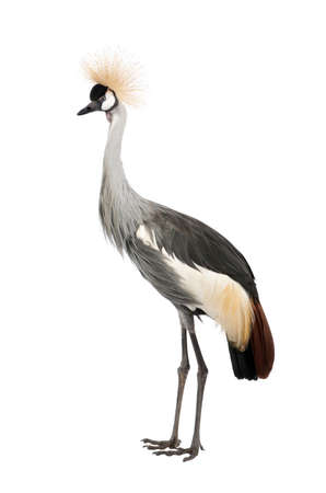 crane bird: Grey Crowned Crane - Balearica regulorum (18 months) in front of a white background Stock Photo