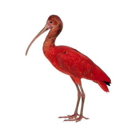 Scarlet Ibis - Eudocimus ruber in front of a white background Imagens