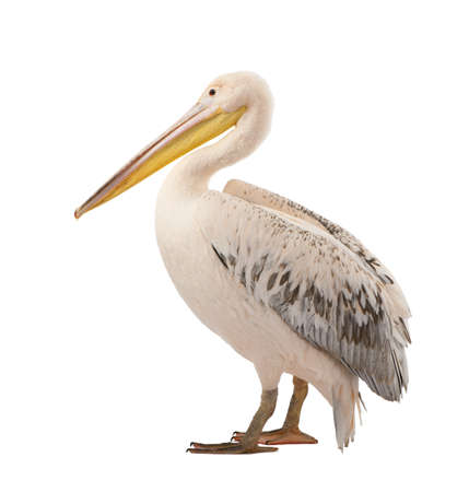 freshwater bird: White Pelican -  Pelecanus onocrotalus (18 months) in front of a white background