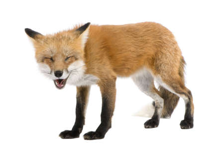 loopy: Red fox (4 years) - Vulpes vulpes in front of a white background Stock Photo