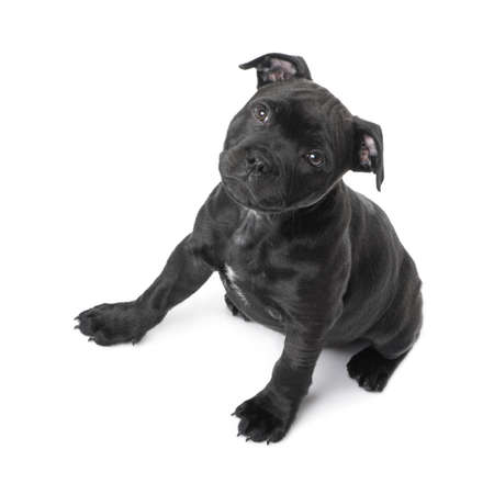 black and white pit bull: Staffordshire Bull Terrier () in front of a white background