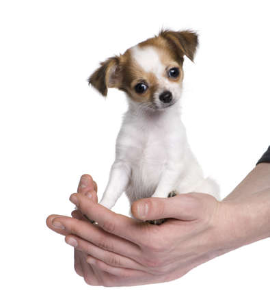 minuscule: chihuahua (3 months) in front of a white background
