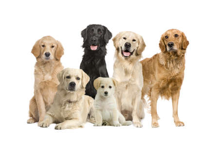 brown labrador: group of 6 golden retriever and labrador facing the camera in front of a white background