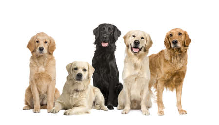 front facing: group of 5 golden retriever and labrador facing the camera in front of a white background Stock Photo