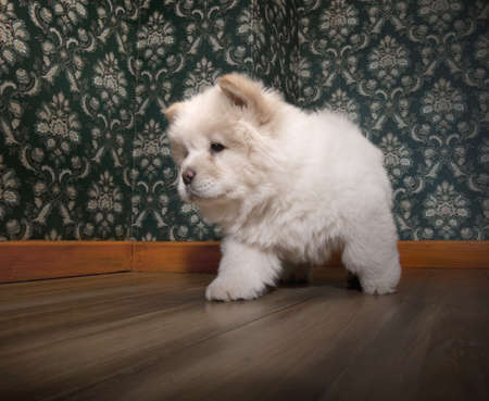 interrior: young Chow-chow in a retro room