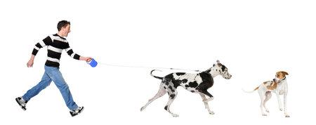 arrogancia: Hombre caminar a su perro (Gran Dane 4 años) delante de un fondo blanco