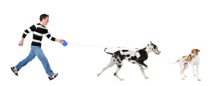 dog walking: Man walking his dog (Great Dane 4 years) in front of a white background