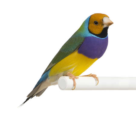 Gouldian Finch -  Erythrura gouldiae  in front of a white background photo