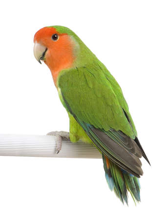 lovebird: Peach-faced Lovebird -Agapornis roseicollis in front of a white background  in front of a white background