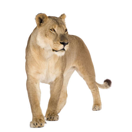 panthera leo: Lioness (8 years) - Panthera leo in front of a white background Stock Photo