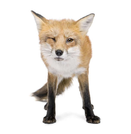 fox fur: Red fox (4 years) - Vulpes vulpes in front of a white background Stock Photo