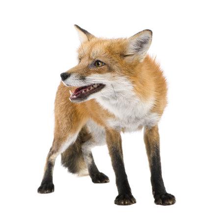 zorros: Zorro rojo (4 a�os) - Vulpes vulpes delante de un fondo blanco Foto de archivo