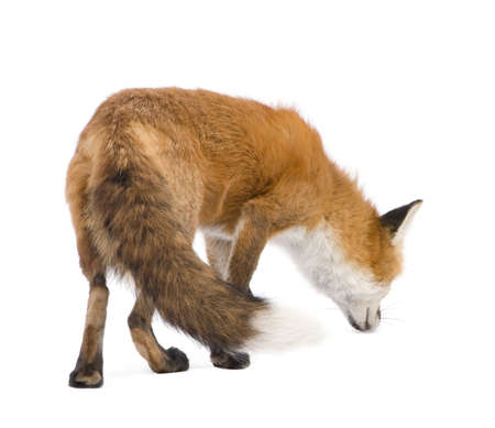 Red fox (4 years) - Vulpes vulpes in front of a white background Stock Photo - 4568264