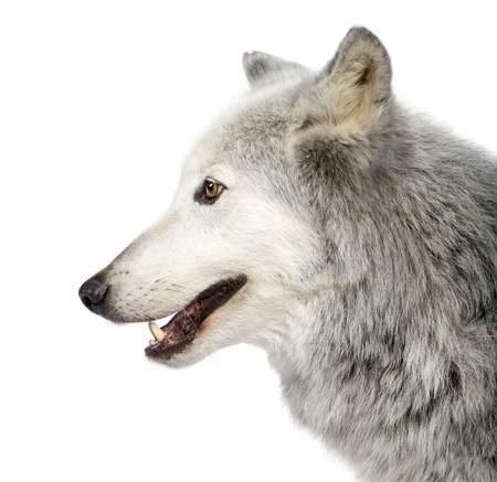 Mackenzie Valley Wolf (8 years) - Canis lupus occidentalis in front of a white background Stock Photo