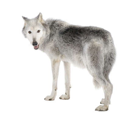 back to camera: Mackenzie Valley Wolf (8 years) - Canis lupus occidentalis in front of a white background Stock Photo