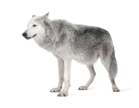 Mackenzie Valley Wolf (8 years) - Canis lupus occidentalis in front of a white background Banco de Imagens