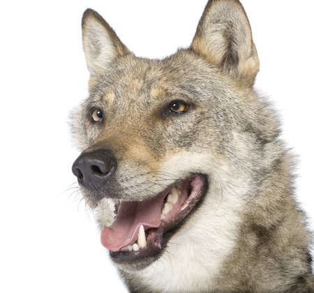 close-up on a old European wolf - Canis lupus lupus in front of a white background photo