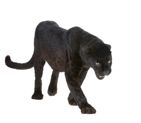 jaguar: Leopardo Negro (6 a�os) delante de un fondo blanco
