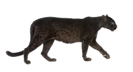 wildcats: Black Leopard (6 years) in front of a white background