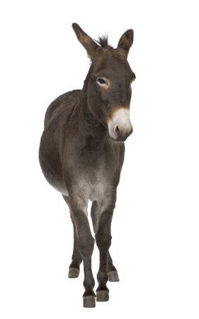 culo: asino (4 anni) di fronte a uno sfondo bianco