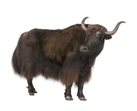 hoofed: Yak in front of a white background Stock Photo