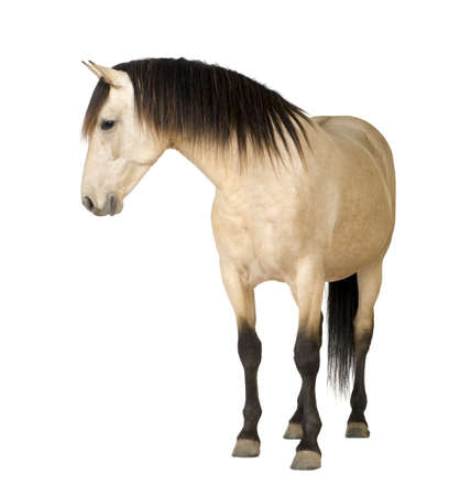 domestic horses: Horse in front of a white background in front of a white background Stock Photo
