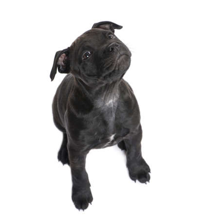 Staffordshire Bull Terrier () in front of a white background photo