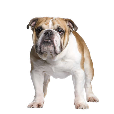 stitting: english Bulldog (3 years) in front of a white background