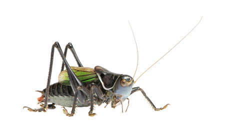 Grasshopper - Gampsocleis gratiosa in front of a white background photo