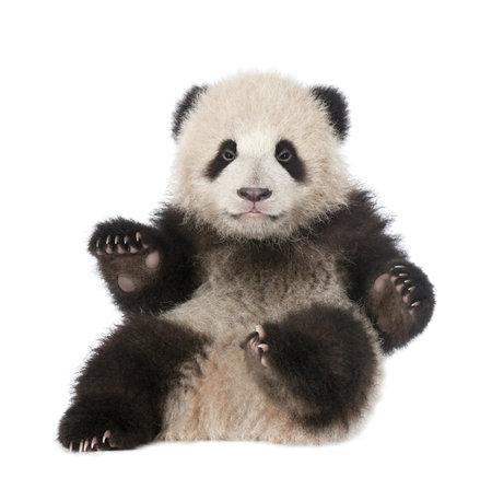 bear cub: Giant Panda (6 months old) - Ailuropoda melanoleuca Stock Photo
